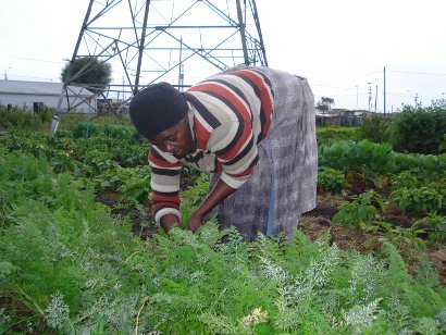 Lulama Jim of the Masicendani garden picks carrots for Harvest of Hope