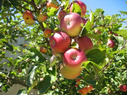 apples - keep the doctor away this winter