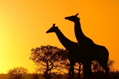 giraffe in kruger national park by arno and louise from fotopedia