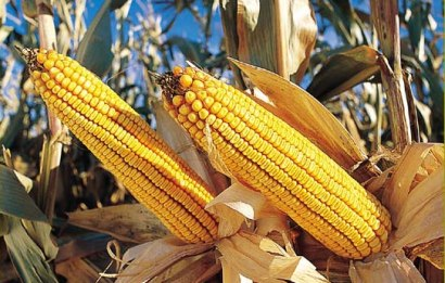 Study attacking genetically modified food republished ...