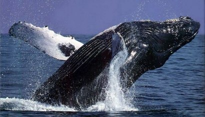 whales are under threat again pic: marineEcotours.com