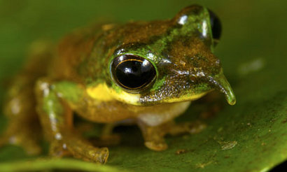 A new species found in Papua New Guinea: Long-nosed tree frog is one of the new species discovered in Foja mountains rainforest on the Indonesian island of New Guinea. Photograph: Tim Laman/NG