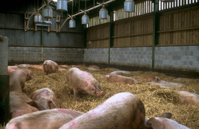 Pig farming business plan in south africa